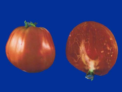 tomato2C20nile20river20egyptian.jpg