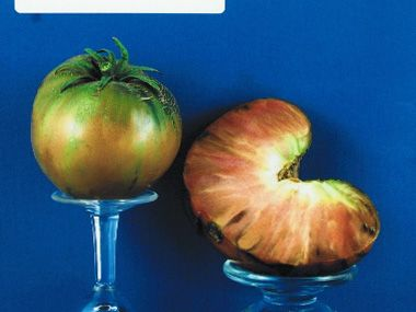 tomato2C20paul20robson.jpg