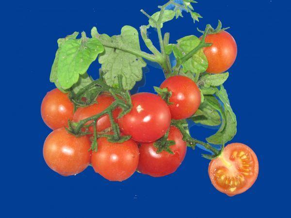 tomato2C20red20robin2028129.jpg