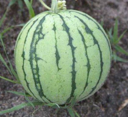 watermelon2C20cream20of20Sask.jpg