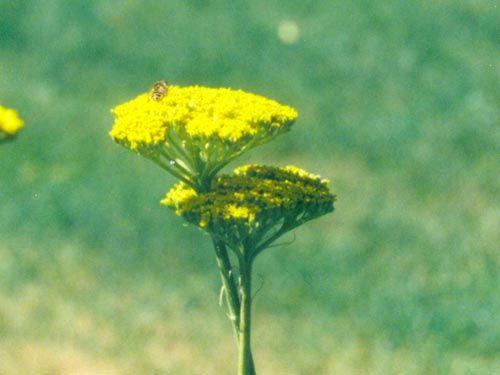 yellow_yarrow.jpg