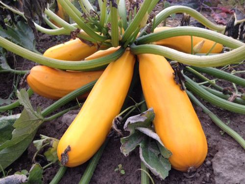 zucchini2C20golden.jpg