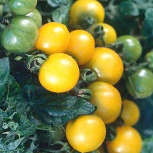 Canary tomato